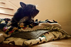 Princess and the Pea;  Folded 2/29 (Maggie McGunigle) Tags: morning light rescue dog pet pets dogs window misty stairs puppy haze indoor stairwell indoors terrier folded blankets captureyour365 cy365 littledoglaughedstories