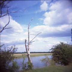 Port Meadow (breakbeat) Tags: tree water mediumformat river holga oxford jericho e6 portmeadow summer2015 holgass18
