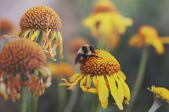 ANMC - M.LEMMON (Rafael Bojorquez Pacheco) Tags: flowers arizona usa naturaleza mountain flores nature forest us lemon bee mount bosque montaa abeja