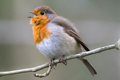 Robin (Shane Jones) Tags: bird robin nikon tc14eii 200400vr