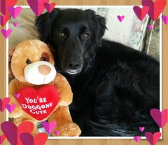 A little late, but... (picsbymeLLB) Tags: dog bordercollie lexy happyvalentinesday