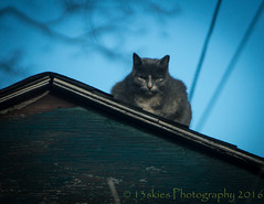 Eyes on me (13skies) Tags: above roof sky cat high eyes feline looking sinister sony over evil plan brains tamron sneaky feral intent crouched prepared hunched meanlooking a99