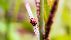 I Am Wainting! (gopinath_my) Tags: macro insect pentax takumar super ladybug smc canon60d