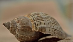Shell In Pastel (ACEZandEIGHTZ) Tags: macro closeup wow nikon bokeh pastel shell depthoffield seashell autofocus coth thegalaxy d3200 frameit saariysqualitypictures macrodreams galaxystars buildyourrainbow