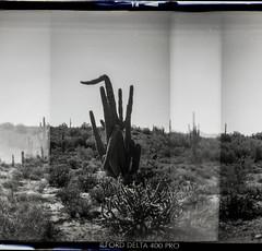 Holga 120S, Ilford Delta 400 (K e v i n) Tags: arizona cactus blackandwhite bw southwest film nature analog cacti mediumformat landscape outside holga desert az scan ilforddelta400 sonorandesert 120mm holga120s saguaros blackcanyontrail epsonv500 blackcanyonnationalrecreationtrail