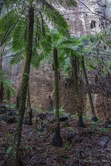 Tree ferns (NettyA) Tags: cliff australia bushwalking qld queensland bushwalk treefern springbrook goldcoasthinterland 2016 springbrooknationalpark scenicrim seqld warriecircuit scbwc sonya7r 2bid316