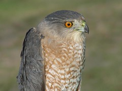 Cooper's Hawk (helmutnc) Tags: hg sweetfreedom specanimal hennysanimals