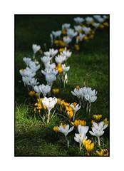 Le printemps arrive ! (SiouXie's) Tags: city flower color nature fleurs fuji rouen fujifilm normandie normandy printemps couleur ville 55200 siouxies fujixe2