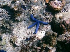 Starfish, near El Nido Palawan (omnia2070) Tags: philippines el nido elnido palawan miniloc island bacuit archipelago starfish coral sea ocean blue arm