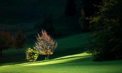 Tree in autumlight (JohannesMayr) Tags: light tree germany bayern deutschland bavaria licht autum herbst golfcourse baum golfplatz allgäu oberstaufen steibis