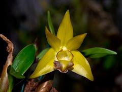 Dendrobium (epigeneium) rotundatum (Eerika Schulz) Tags: epigeneium rotundatum dendrobium eerika schulz
