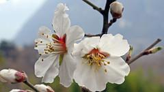 Prunus dulcis (Rosaceae) 058 16 (ab.130722jvkz) Tags: prunus rosaceae prunoidae