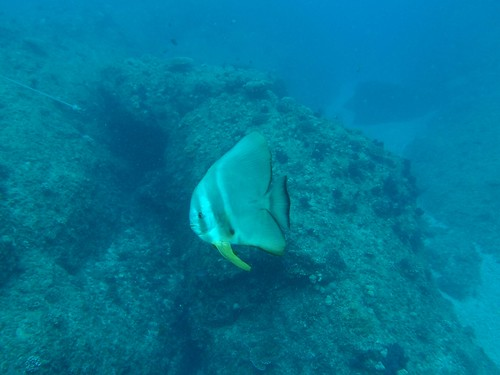 batfish in pursuite