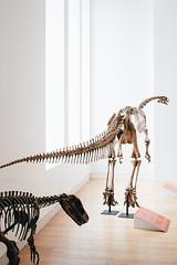Jurassic Park - Sauropoda 2 (Mallika Makkar Photography) Tags: toronto canada history museum canon fossil rebel university dinosaur reptile wideangle science bones bone biology paleo rom palaeontology yyz uoft 18mm fossilized sauropod 416 pterosaur torontophotographer torontophotography