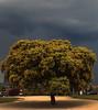 Encina (juanrgallo) Tags: árbol lasrozas encina steineiche