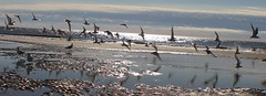 Seagulls on the Go!! (Thanks for over 2 million views!!) Tags: seagulls nature birds hiltonheadisland hiltonheadsouthcarolina hiltonhead ocean atlanticocean chadsparkesphotography canoneosrebelt5 southcarolina challengeyouwinner
