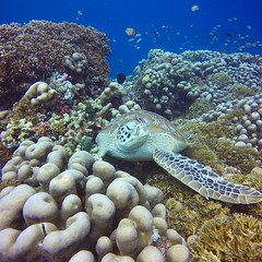 A different world (quiltershaun) Tags: travel sea water animal coral closeup underwater turtle deep scuba diving scubadiving resting colourful reef seaturtle secretgarden marinelife gopro aqualife