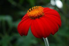 Hermosa Flor de la Echinacea (Govinda John) Tags: naturaleza flower macro verde nature canon rojo echinacea flor amarillo macrofotografa lenteinvertido canont5i