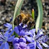 Collecting Blue. Scilla bifolia, Alpine Squill, and Honey Bee, Apis mellifera, Hortus Botanicus, Amsterdam, The Netherlands (Rana Pipiens) Tags: boys insect pollen honeybee slaves puberty apismellifera classicalantiquity scillabifolia alpinesquill hortusbotanicusamsterdamthenetherlands
