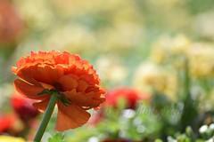 Gleam (TheCozyEscape) Tags: lighting flowers light orange flower macro green nature closeup petals spring stem natural bokeh earth under depthoffield petal underside bloom behind blooms blooming