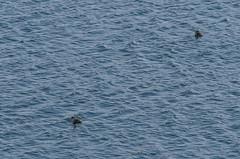 *titicaca grebes (arcibald) Tags: lake bird peru titicaca birds playa aves andes grebe puno capachica chifron rollandiamicroptera titicacagrebe