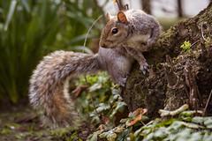 Squirrel in Brunswick Square Gardens, London
