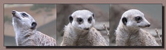 Erdmnnchen (Suricata suricatta) (p_jp55 (Jean-Paul)) Tags: collage zoo luxembourg luxemburg suricatasuricatta erdmnnchen saarlorlux tiergehege bettembourg ltzebuerg mrchenpark parcmerveilleux bettemburg beetebuerg