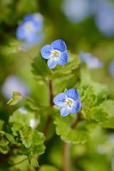 Veronique de Perse, la mauvaise herbe. (thierry16s) Tags: nature fleur de belle jolie veronique petite charente herbe bleue angouleme mauvaise perse primptemps lamauvaiseherbe charenteangoulemeprimptempsveroniquedeperse