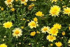 Daisy bed (kwtracyghostship) Tags: summer yellow daisies fun us unitedstates pennsylvania vibrant july daisy kennywood westmifflin alleghenycounty commonwealthpa kwitalianday2015 kwtracyghostship