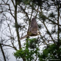 Falco lanario