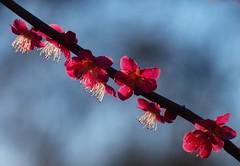 2016_02_0099 (petermit2) Tags: spring blossom priory nottinghamshire blyth prunus hodsock hodsockpriory prunusmume
