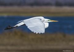 GWegret1a (lfalterbauer) Tags: photography photographer wildlife stoneharbor birdwatching greategret birdwatcher greatwhiteheron canon7dmarkii 100400mmii