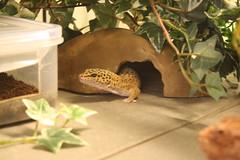 Dio (uni_inu) Tags: herp leopardgecko