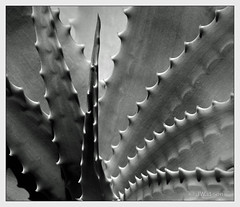 Irony (VenturaMermaid) Tags: light shadow bw plant texture monochrome succulent teeth 55mm irony spike botanic prick depth aloevera serrated