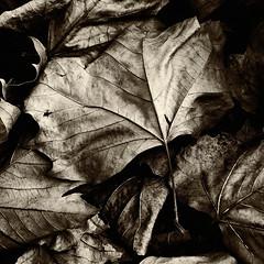 """Pitiable"" (Wimlex67) Tags: autumn blackandwhite texture nature monochrome sepia leaf zwartwit herfst deadleaves natuur highcontrast blad deadleaf structuur dodebladeren finetexture hoogcontrast medelijden doodblad pitable fijnestructuur"