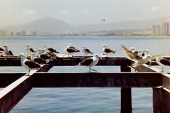 (amanda estefania) Tags: chile puerto coquimbo pentax k1000 kodak gaviotas