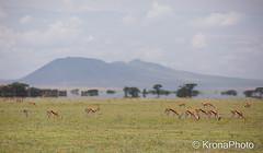 Luftspeiling - mirage (KronaPhoto) Tags: africa light nature animal tanzania mirror warm natur optical safari mirage serengeti antilope dyr speil fatamorgana fenomen naturfenomen speiling optisk hildring luftspeiling