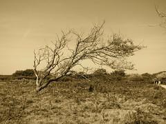 Windblown tree (Frans Schmit) Tags: tree sepia windblown