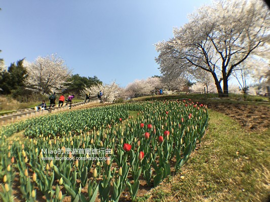안산공원벚꽃36