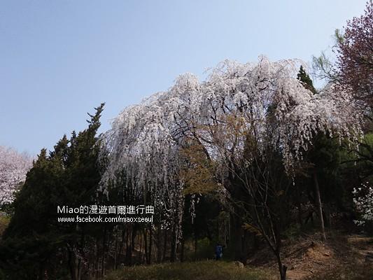 안산공원벚꽃09