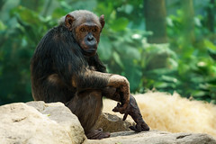 Chimpanzee (matthias.foto) Tags: park old trip light wild color cute green art nature beautiful beauty animal animals germany munich mnchen deutschland photography zoo monkey photo europe photos sweet bokeh outdoor alt wildlife portait sony natur ape chimpanzee grn alpha primate 6000 tier affe schimpanse 2015 schn primat ilce ss mirrorless a6000 fe702004