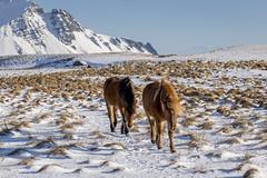 cheveaux (4) (OliPhil_997) Tags: horses iceland islande cheveaux