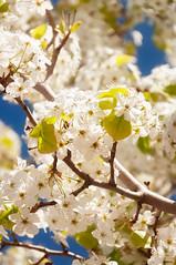 White Blooms (danielacon15) Tags: flowers blue arizona sky usa sun white beautiful beauty glow blossoms page navajoland americansouthwest