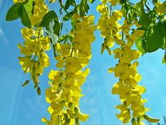 103_1281 (maszat15) Tags: flower color yellow virg aranyes laburnumwatereri srgaakc