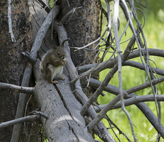 """Red Tree Squirrel • <a style=""""font-size:0.8em;"""" href=""""http://www.flickr.com/photos/63501323@N07/26071458563/"""" target=""""_blank"""">View on Flickr</a>"""