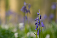 The bluebells (rvanhegelsom) Tags: flowers blue plant flower color colour tree green nature floral beautiful bluebells fairytale forest landscape photography spring flora colorful belgium pics colourful sequoia halle hallerbos