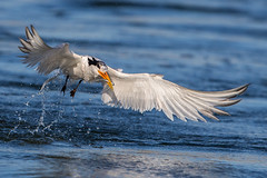 Elegant Tern Caught a Fish (OC Birds) Tags: california bird nature animal wildlife elegant tern huntingtonbeach bolsachica