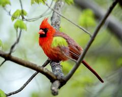Northern Cardinal (male) (wplynn) Tags: wild male bird birds cardinal indianapolis indiana northern avian castleton cardinalis