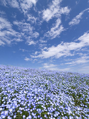 Blue Blowing (H.H. Mahal Alysheba) Tags: blue sky plants flower nature japan garden lumix hill wide nemophila lumixg 714mmf40 gx7