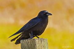 Resting with broken leg (GeorgeTsai 168) Tags: broken america leg crow